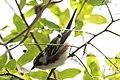 Chestnut-sided Warbler (male) Sabine Woods TX 2018-04-22 14-09-25 (27122902467).jpg