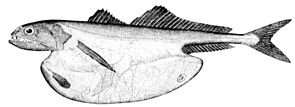 Chiasmodon niger, mit verschlucktem Beutefisch