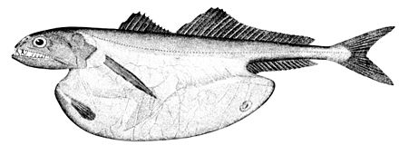 The black swallower is a species of deep sea fish with an extensible stomach which allows it to swallow fish larger than itself Chiasmodon niger.jpg