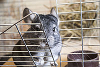 Chinchilla 1.jpg