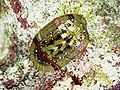 Chiton turkey 200109.jpg