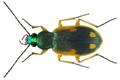 Chlaenius notabilis Laferte-Senectere, 1851 (8462045216).png