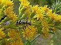 Chlorophorus varius Paludi 02.jpg