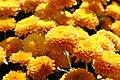 Chrysanthemum Harmony 0zz.jpg