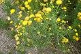 Chrysocoma valida 2.jpg