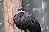 Ciconia stormi -Bronx Zoo-8