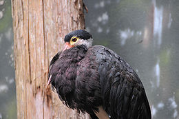Ciconia stormi -Bronx Zoo-8.jpg