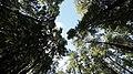 Cielo entre árboles nativos en Futaleufú.jpg