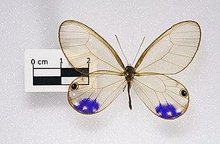 Le chuchotement d'un Papillon  dans PAPILLON 320px-Cithaerias_Esmeralda_MHNT.ZOO.2004.0.976