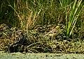 Citrine Wagtail Motacilla citreola and snake by Dr. Raju Kasambe DSCN3054 (6).jpg