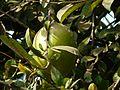 Citrus maxima (Burm.) Osbeck (3188650254).jpg