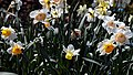 City of London Cemetery and Crematorium - Café narcissus bed 02.jpg