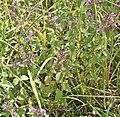 Clinopodium vulgare, Süselberg.JPG