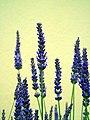 CloseUp Lavender.jpg