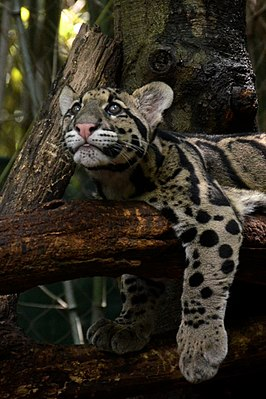 Clouded Leopard Cub Hanging on the Branch (1).jpg