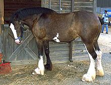 Clydesdale horse.jpg