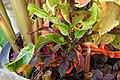 Codiaeum variegatum var. pictum Curled 3008px.jpg