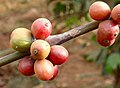 Coffee Beans (5306009552).jpg