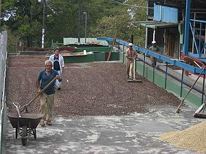 Agriculture in Panama - Drying coffee beans in Boquete.