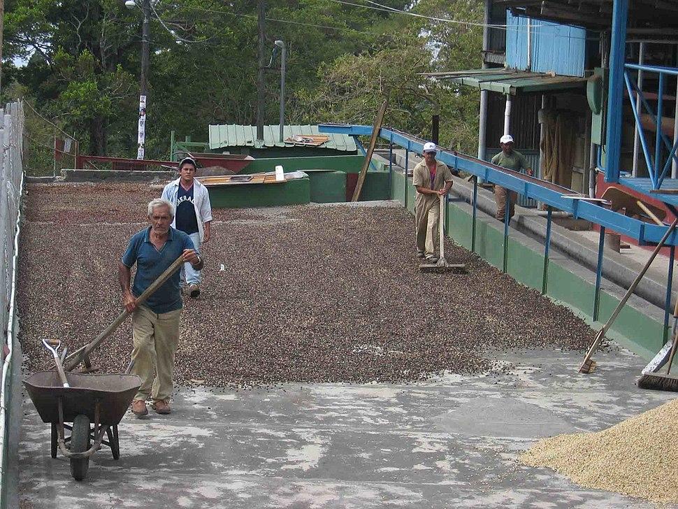Coffee drying panama