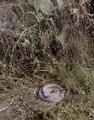 Coiled rattlesnake in brush outside San Marcos, Texas LCCN2011631944.tif