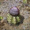 Collectie Nationaal Museum van Wereldculturen TM-20029575 Bloeiende bolcactus Aruba Boy Lawson (Fotograaf).jpg