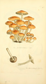 Coloured Figures of English Fungi or Mushrooms - t. 285.png