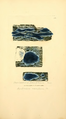 Coloured Figures of English Fungi or Mushrooms - t. 350.png