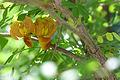 Colutea orientalis - Fleurs.jpg