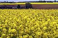 Colza Ferme du Trou Salé (Yvelines) Cl J Weber02 (23675086865).jpg