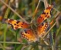 Comma Butterfly 1 (8040636528).jpg