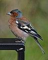 Common Chaffinch (Fringilla coelebs) - Oslo, Norway (01).jpg