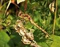Common Darter male (49338143453).jpg