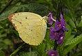 Common Emigrant Catopsilia pomona by Dr. Raju Kasambe DSCN1677 (1).jpg