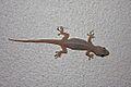 Common House Gecko (Hemidactylus frenatus)2.jpg