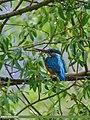 Common Kingfisher (Alcedo atthis) (28107964865).jpg