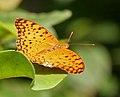 Common Leopard (Phalanta phalantha) in Anantgiri, AP W IMG 8771.jpg