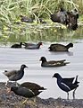 Common Moorhen from the Crossley ID Guide Britain and Ireland.jpg