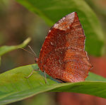 Common Palmfly (Elymnias hypermnestra)- Female at Samsing, Duars, West Bengal W IMG 6337.jpg