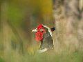 Common Pheasant (8401856185).jpg