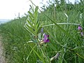 Common Vetch - Vicia sativa - geograph.org.uk - 1260601.jpg