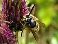 Common Wasp (Vespula vulgaris) (9651958379).jpg