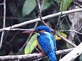Common kingfisher (back).jpg