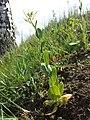Conringia orientalis sl17.jpg