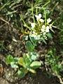 Conringia orientalis sl58.jpg