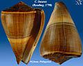 Conus buxeus 2.jpg