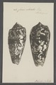 Conus striatus - - Print - Iconographia Zoologica - Special Collections University of Amsterdam - UBAINV0274 085 10 0064.tif