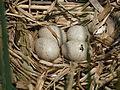 Coot Nest 02-06-11 (5791320526).jpg
