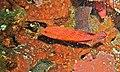 Coral Hind (Cephalopholis miniata) (6052669253).jpg