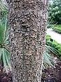 Cordyline australis textura del tronco.jpg